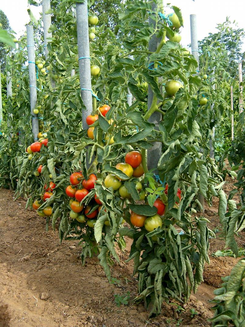 Tomates aux maraichers une nouvelle lev e - Tailler plant de tomate ...